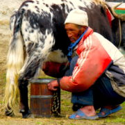 Yak Milking at Everest Basecamp