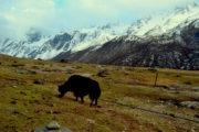 Yak at Langtang Valley Trekking