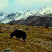 Yak at Langtang Valley Trekking
