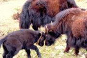 Yaks at Annapurna Circuit Trekking