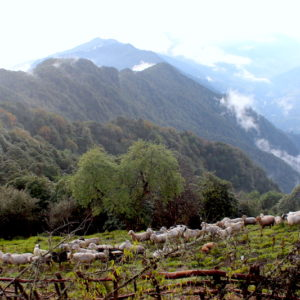 Mardi Himal low camp Sheep Herds