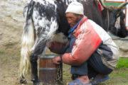 Local Yak herder in Everest Region