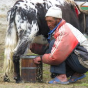 Local Yak herder in Everest Region