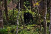 Wild Bear in Nepal Chitwan