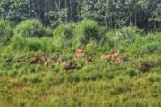 Herd of deers sighted at Nepal Chitwan National Park