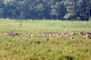 Deers at Bardiya
