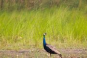 Chitwan National Park Peacock